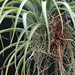 Spreading Airplant - Photo (c) Alex in situ, some rights reserved (CC BY-NC-ND)