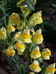 flower, yellow, plant, wildflower, flora, snapdragon,