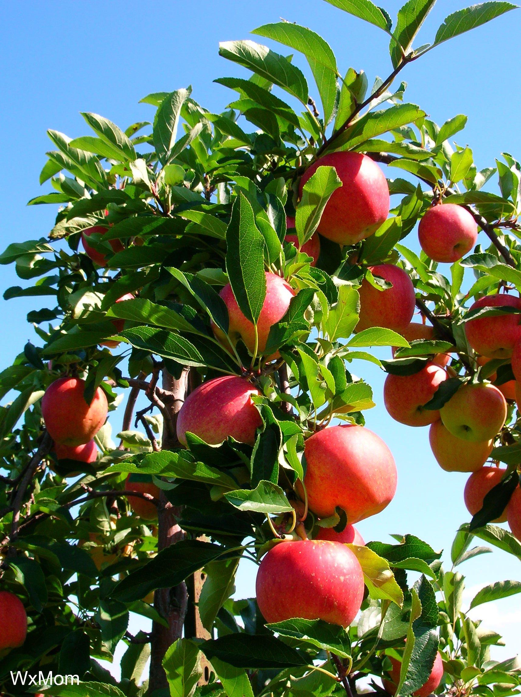Фото планировка для яблони саженц 13 фотография