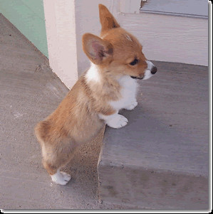 Welsh Corgi Puppies on Welsh Corgi Puppy   Flickr   Photo Sharing