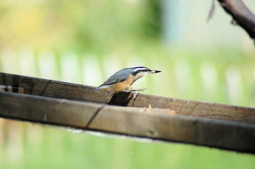 hallo, red-breasted nuthatches!