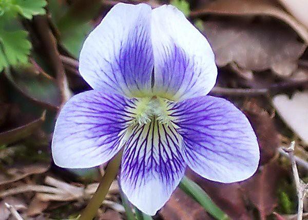 Violaceae Viola Sororia Woolly Blue Violet Common Blu
