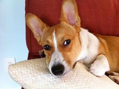 dog breed, animal, dog, carolina dog, pet, carnivoran, basenji, terrier,