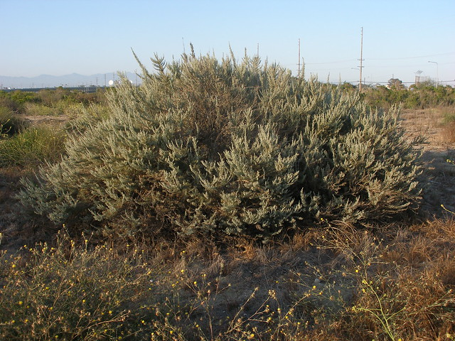California Coastal Sage brush | Flickr - Photo Sharing!