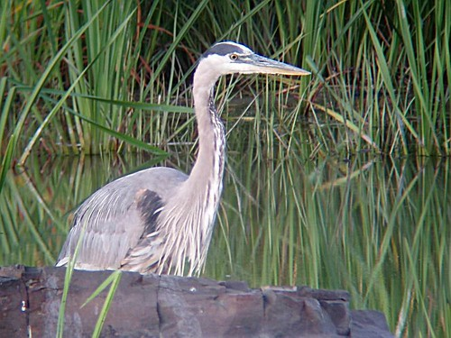 Grand Héron - Great-blue-Heron.  Lasalle  05-08-2007   P8050036 by Diane G...