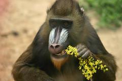 animal, baboon, monkey, mammal, fauna, drill, mandrill, old world monkey, new world monkey, wildlife,