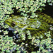 Chiricahua Leopard Frog - Photo (c) USFWS Endangered Species, some rights reserved (CC BY)