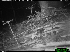 Robinson's Mouse Opossum