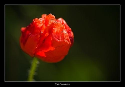 cornfield poppy poppies badradkersburg