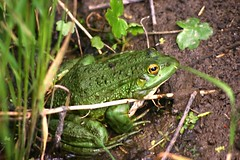 green lizard(0.0), tree frog(0.0), lacerta(0.0), lacertidae(0.0), animal(1.0), amphibian(1.0), toad(1.0), frog(1.0), nature(1.0), green(1.0), fauna(1.0), ranidae(1.0), bullfrog(1.0), wildlife(1.0),
