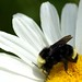 Yellow-faced Bumblebee - Photo (c) Minette Layne, some rights reserved (CC BY-NC)