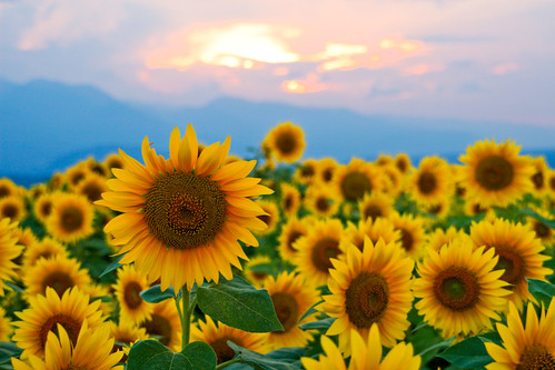 sunset sky sun flower face happy sunflower