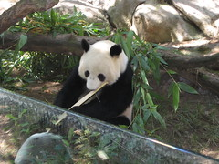 Panda still eating