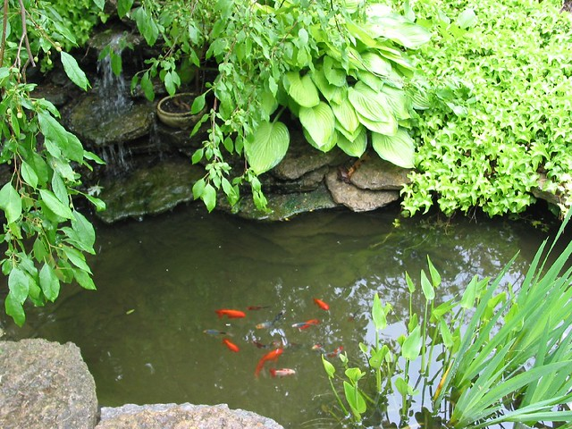 Patio pond goldfish and waterfall flickr photo sharing for Outside goldfish ponds