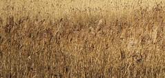 prairie, agriculture, triticale, rye, food grain, field, barley, wheat, plant, crop, grassland,
