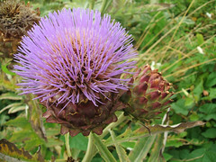 flower, thistle, plant, wildflower, flora, silybum, artichoke thistle,
