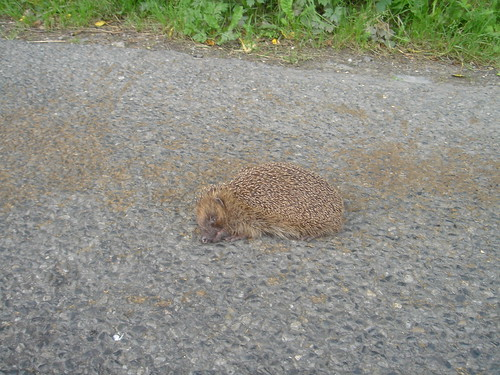 Hedgehog - have to watch out for the creatures on back roads