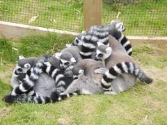 animal, zoo, mammal, lemur,