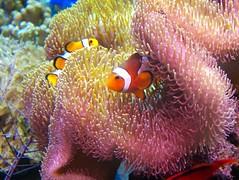 coral reef, animal, anemone fish, coral, fish, coral reef fish, organism, marine biology, invertebrate, macro photography, stony coral, marine invertebrates, fauna, underwater, reef, sea anemone,