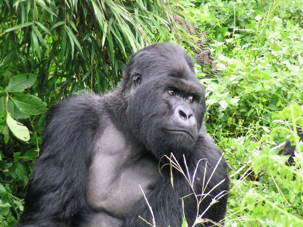 Fellow great ape - threatened with extinction