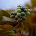 Funky Berries by krautwerk