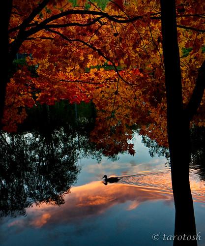 autumn sunset reflection leaves silhouette duck sapporo pond hokkaido glow ngc 北海道 tints magicunicornverybest coth5 coppercloudsilvernsun mygearandme mygearandmepremium mygearandmebronze mygearandmesilver mygearandmegold