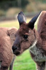 donkey(0.0), musk deer(0.0), wallaby(1.0), animal(1.0), marsupial(1.0), mammal(1.0), kangaroo(1.0), fauna(1.0), wildlife(1.0),