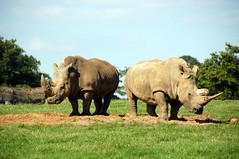 animal, plain, grazing, rhinoceros, fauna, pasture, savanna, grassland, safari, wildlife,