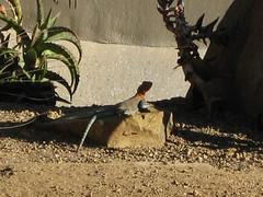 Leaping lizard!