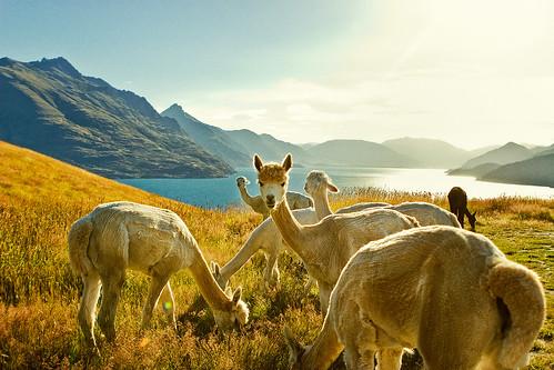 blue sunset newzealand sky lake mountains water grass animal llama hills nz queenstown animalplanet lakewakatipu deerparkheights kelvinheights