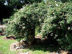 Rose Garden, Raleigh NC 6750