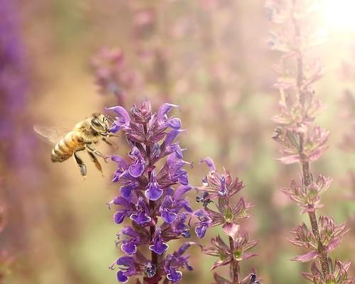 flower © northcarolina raleigh 70300mm honeybee raleighnc sunflare jcraulstonarboretum garyburke olympuse510 honeybeeinflight touchofbokeh