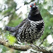 Spruce Grouse - Photo (c) Gavan Watson, some rights reserved (CC BY-NC-SA)