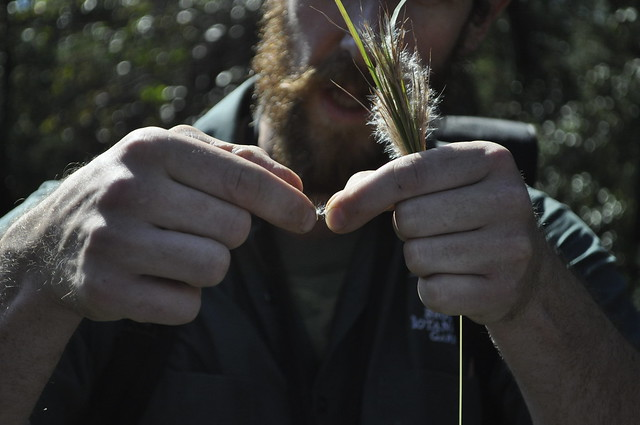 "Native Flora Garden curator Uli Lorimer exposing a single seed, or ""fairy,"" of broomsedge (Andropogon virginicus var. abbreviatus). Photo by Anjali Satyu."