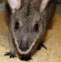 wallaby(0.0), peccary(0.0), virginia opossum(0.0), possum(0.0), kangaroo(0.0), musk deer(0.0), animal(1.0), common opossum(1.0), snout(1.0), marsupial(1.0), mammal(1.0), fauna(1.0), close-up(1.0), whiskers(1.0), wildlife(1.0),