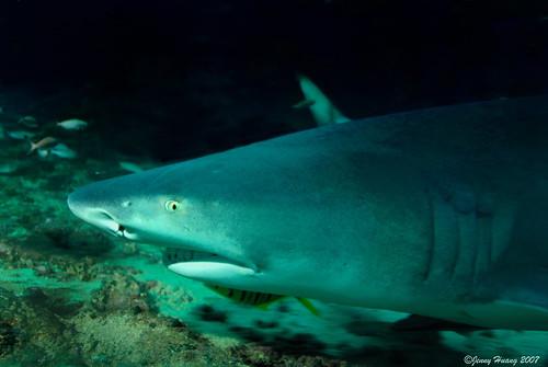 Lemon Shark Toys : On black lemon shark from darkness by jennyhuang medium