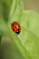 arthropod(1.0), animal(1.0), ladybird(1.0), leaf(1.0), invertebrate(1.0), insect(1.0), macro photography(1.0), green(1.0), fauna(1.0), close-up(1.0), leaf beetle(1.0), beetle(1.0),
