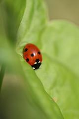 arthropod, animal, ladybird, leaf, invertebrate, insect, macro photography, green, fauna, close-up, leaf beetle, beetle,