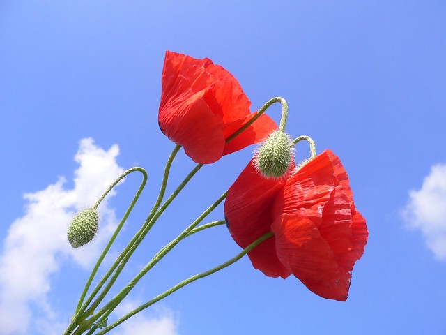 Red Poppies (Papaver)