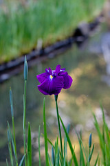 Flower, Iris(Hana-Syoubu)