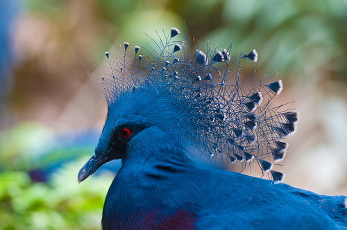 Blue Crowned Pigeon by ***roham***