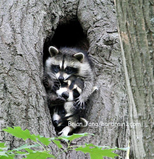 Raccoon Family