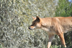 red wolf(0.0), jackal(0.0), fox(0.0), red fox(0.0), dhole(0.0), kit fox(0.0), animal(1.0), dingo(1.0), mammal(1.0), fauna(1.0), wildlife(1.0),