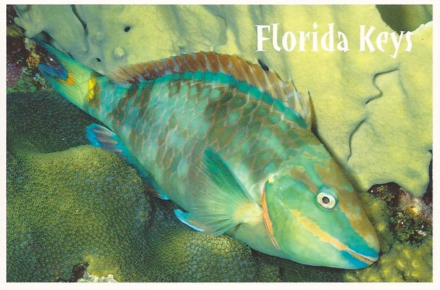 Fish stoplight parrotfish from the florida keys blue for Blue fish florida