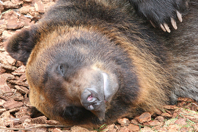 Ussuri Brown Bear - 07