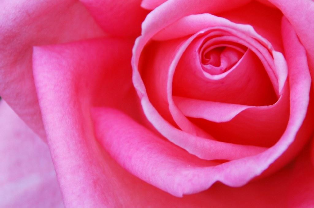 Rose Rose / Rosa rosa