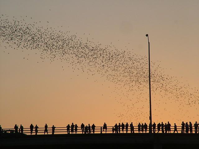 Bats in Austin