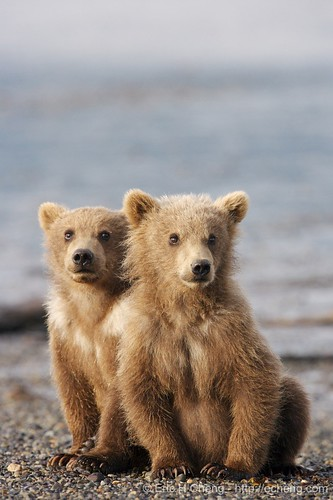 Kodiak bear spring cubs, Hallo Bay, Alaska