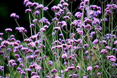 Verbena in our garden
