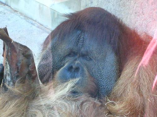 Flanged orangutan